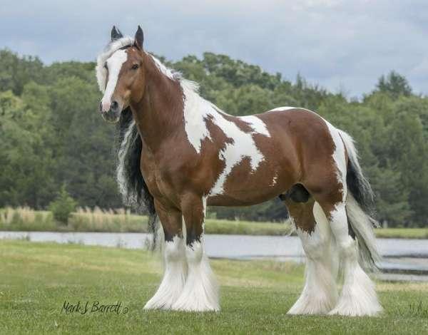 tobiano-tri-colored-bay-white-horse