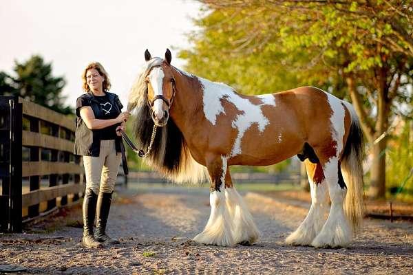 triple-registered-gypsy-vanner-horse