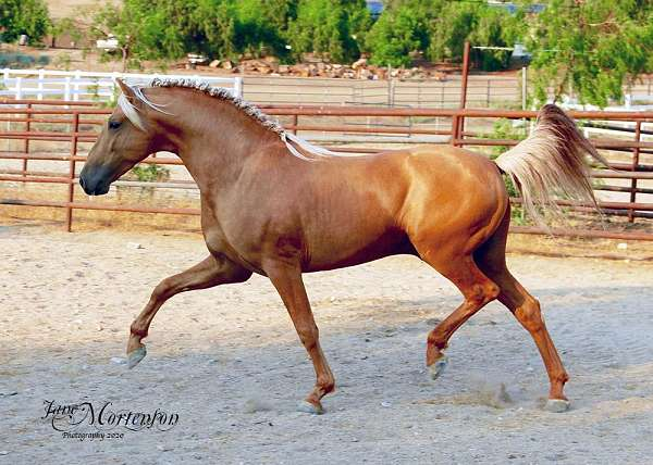 pre-stallion-at-stud-andalusian-horse