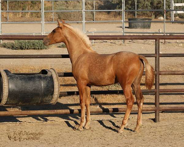 palomino-stallion-at-stud-horse