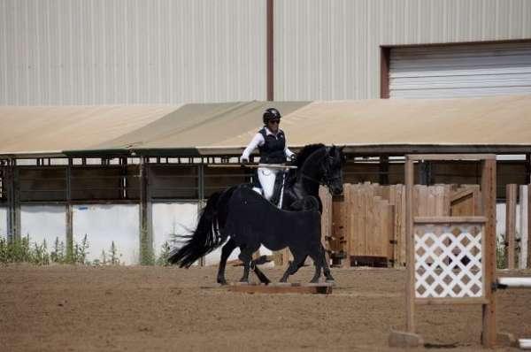 working-equitation-stallion