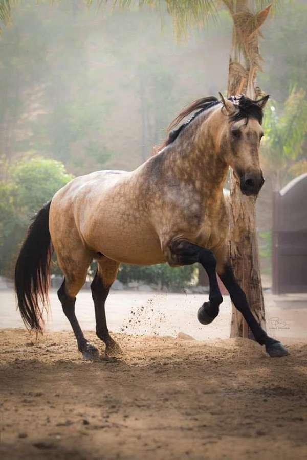 buckskin-andalusian-stallion