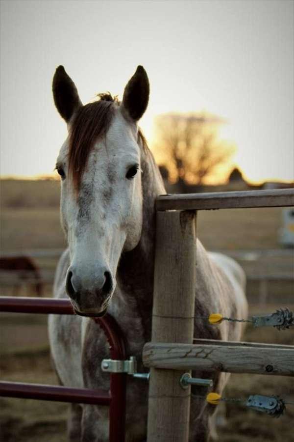 horseclicks-irish-draught-horse