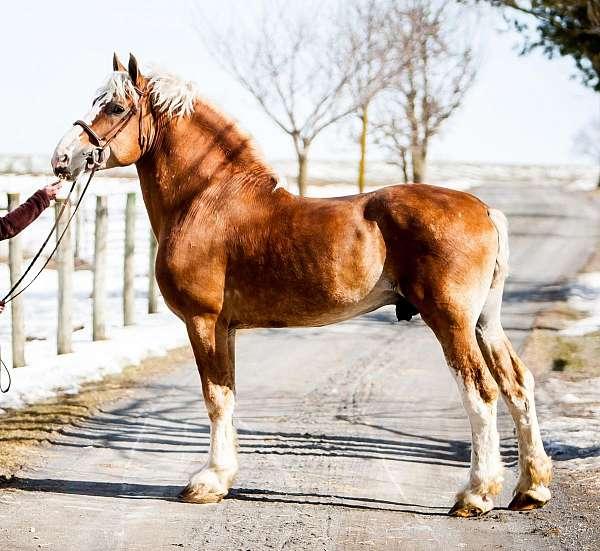 belgian-stallion