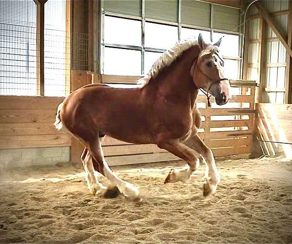 breeding-belgian-horse