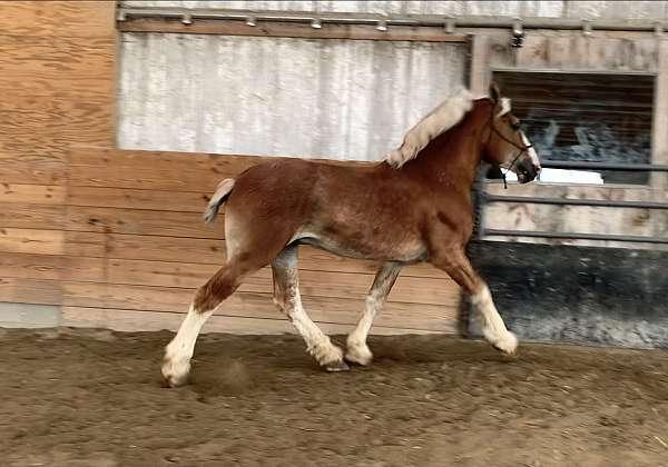 stud-belgian-horse