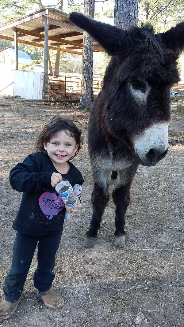 donkey-stallion