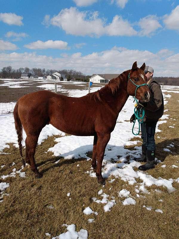 chestnut-halter-horse