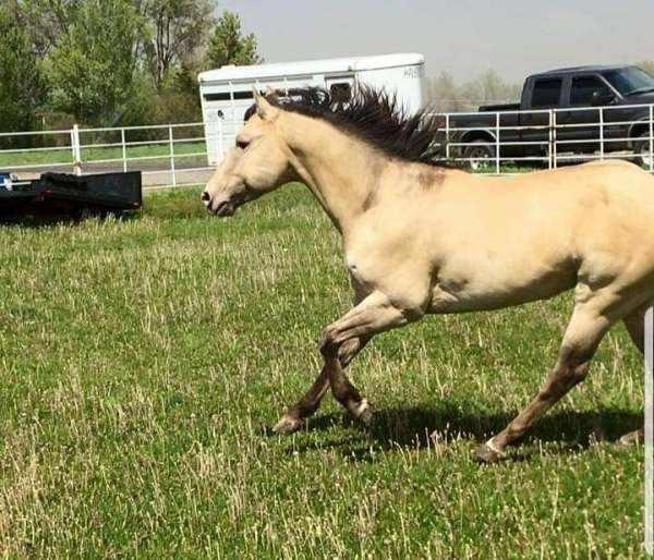 champagne-dun-horse-for-sale