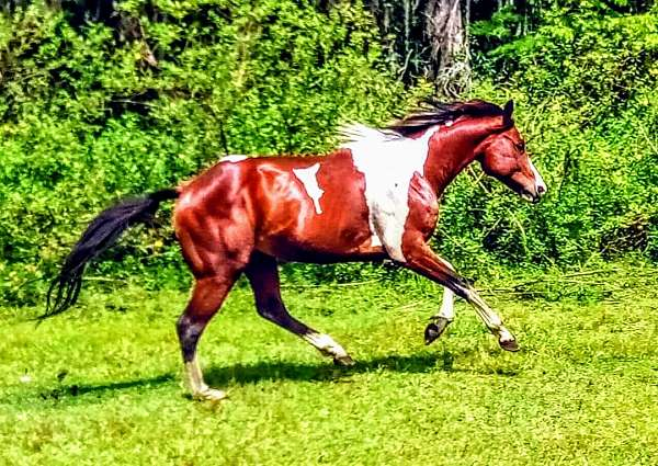 hunter-jumper-paint-horse