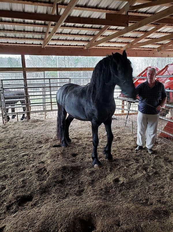 black-fahna-b-book-stallion