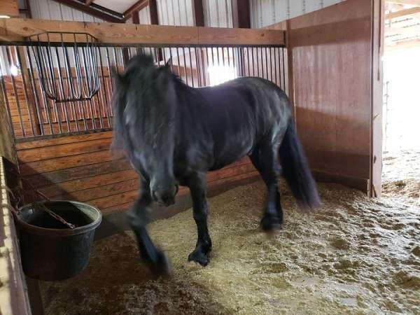 draught-stallion