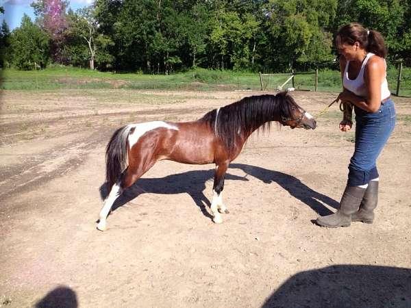 pony-shetland