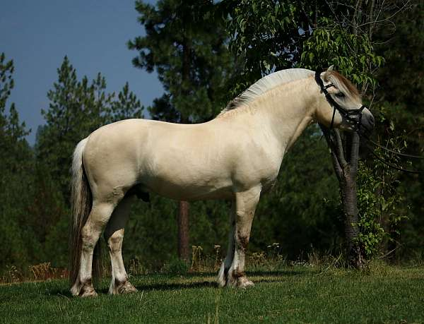 male-fjord-horse