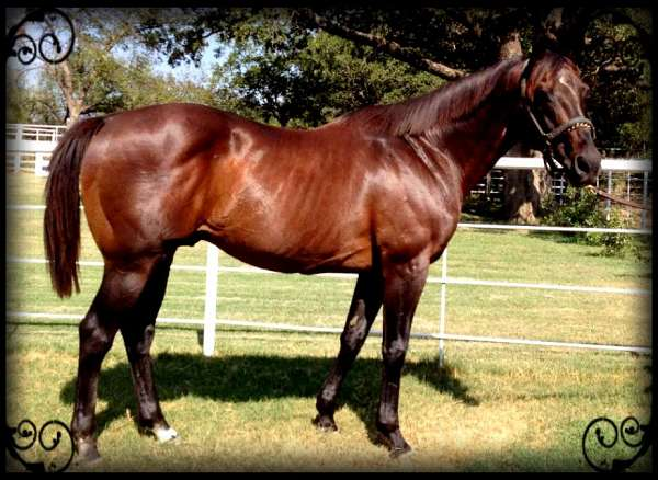 aqha-nominated-thoroughbred-horse