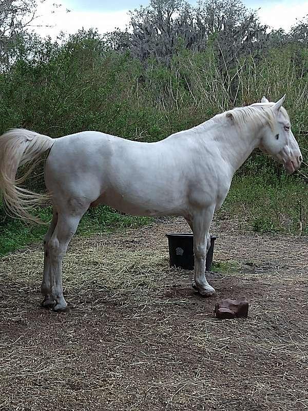 appaloosa-stallion