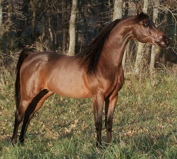 arabian-stallion