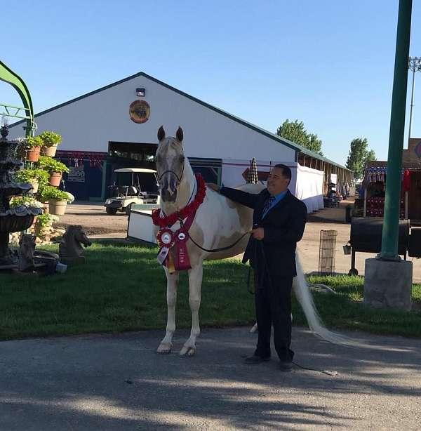 tall-saddlebred-horse