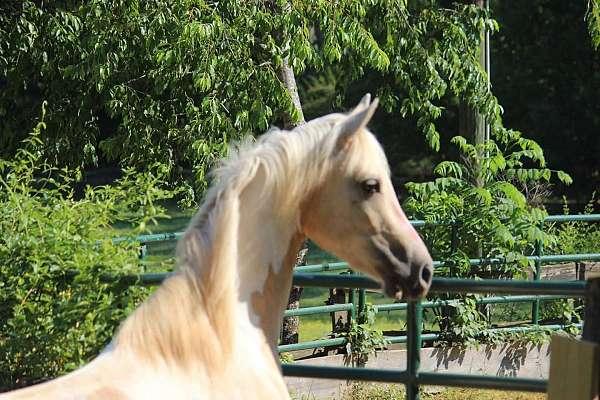 stud-fee-saddlebred-horse