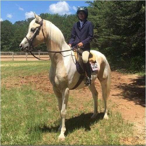 old-saddlebred-horse