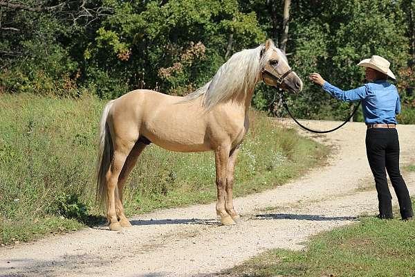 dunalino-morgan-stallion