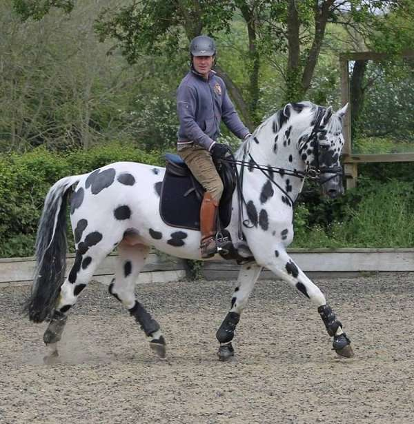 black-leopard-spotted-horse