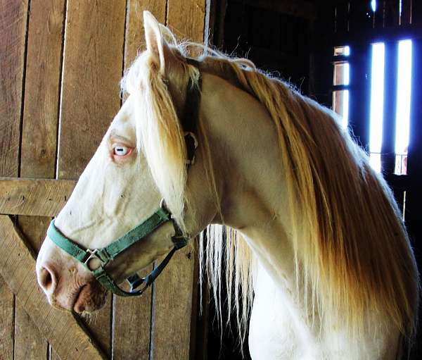 horse-tennessee-walking