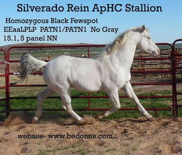 barrel-appaloosa-horse