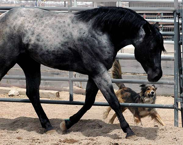 penning-quarter-pony
