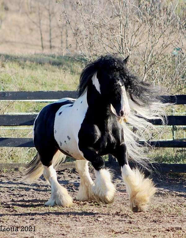 white-blaze-four-stockings-horse