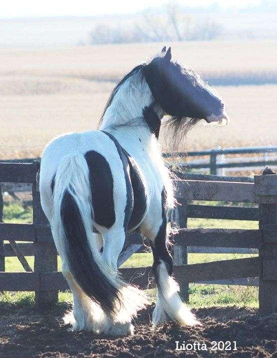 super-gentle-gypsy-vanner-horse