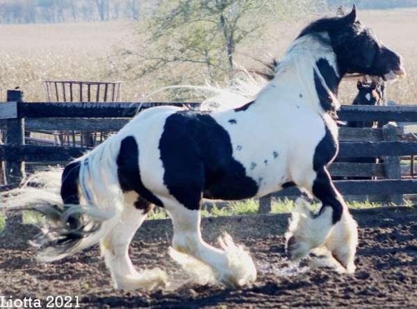 hairy-gypsy-vanner-horse
