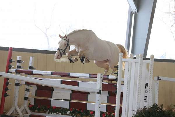 double-dilute-warmblood-horse
