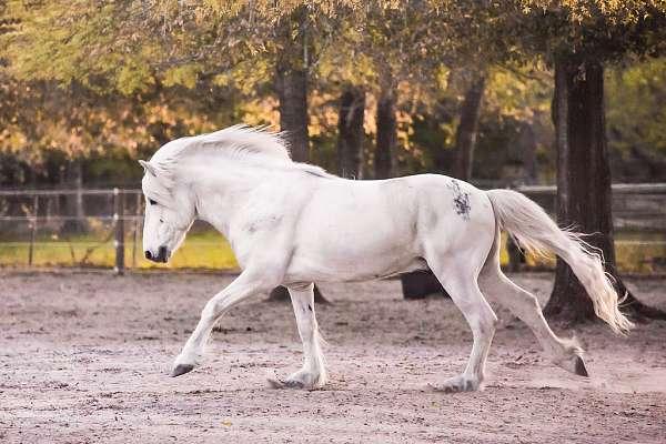 gaited-icelandic-horse