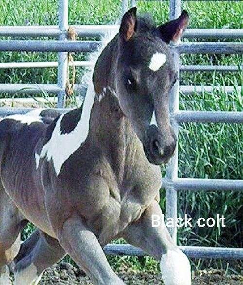 tru-bruiser-paint-horse