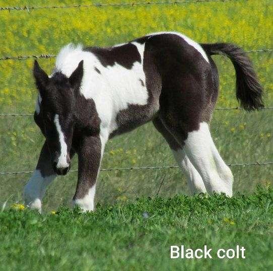 homozygous-paint-horse