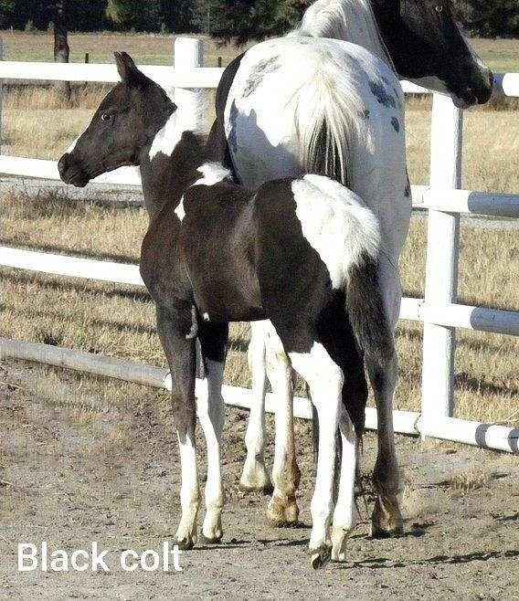 homozygous-tobiano-paint-horse